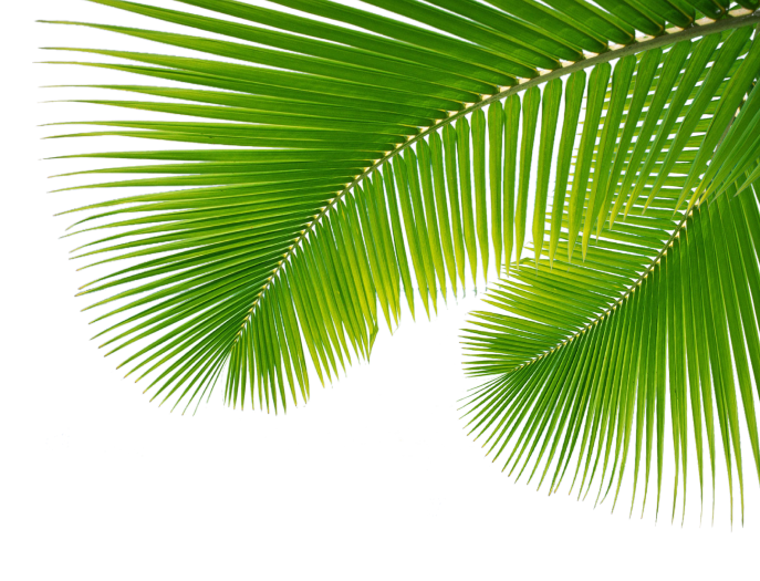 Palm Leaves Png Palm leaves